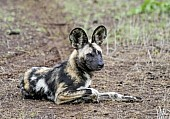Wild Dog at Rest