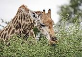 Giraffe Browsning