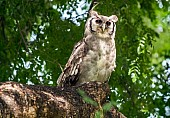 Verreaux's Eagle-Owl or Giant Eagle-Owl)