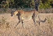 Cheetah Female Striding Out