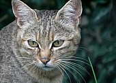 African Wild Cat Close-Up