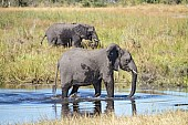 Elephant Walking in River Shallows