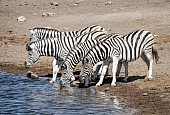 Zebra Foursome at Waterhole