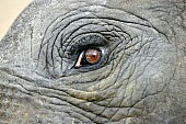 Elephant Eye, Close-Up