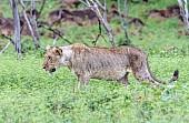 Lioness Walking, Side-on
