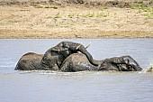 Elephant Pair Playing