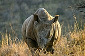 White Rhinoceros, Front-on View