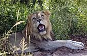 Lion Male Panting