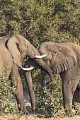 Elephants Clashing