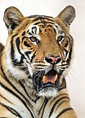 Bengal Tiger Head Shot