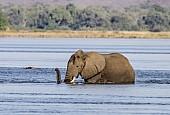 Elephant Wading through Deep Water
