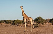 Giraffe Female in Open Terrain