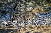 Leopard Male Walking