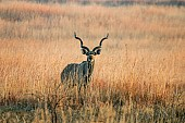 Kudu Bull in Golden Grassland