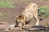 Lion Male at Waterhole
