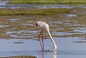 Greater Flamingo Feeding