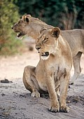 Lions on Banks of Chobe River