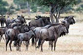 Small Blue Wildebeest Herd