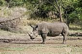 White Rhino Standing