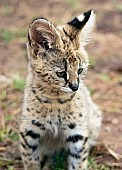 Serval Kitten Close-Up