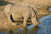 White or Square-Lipped Rhinoceros