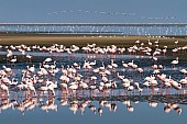 Lesser Flamingos in Lagoon
