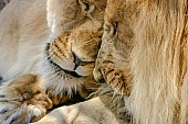 Lion and Lioness Nuzzling, Close-Up