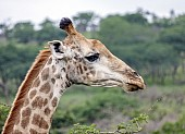 Giraffe Female in Profile