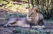 Lion Male at Rest, Side-On