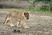 Lion Cub Striding Out