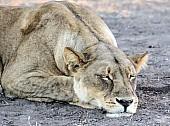 Lioness Sleeping