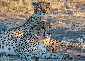 Cheetah Mother and Juvenile