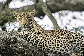Leopard Relaxing on Tree Branch