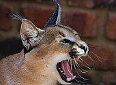 Caracal Showing Teeth and Tongue while Yawning