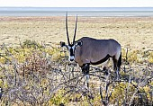 Gemsbok in Shrub Vegetation