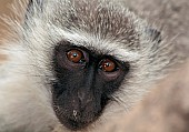 Vervet monkey wildlife reference photo