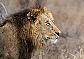 Watchful Male Lion