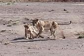 Lion Cub Practising Hunting Skills