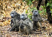 Baboon Group in Rain