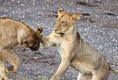 Young Lions Play-Fighting