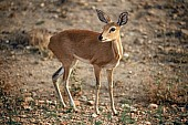 Steenbok Female, Side-on View