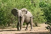 Elephant Acting Aggressively