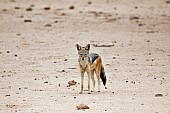 Black-backed Jackal in Open Ground