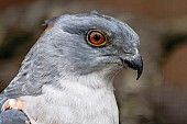 African cuckoo-hawk close-up