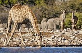 Giraffe at Waterhole with Kudu Pair