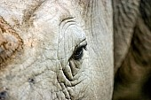 White Rhino, Facial Close-up