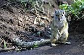 Tree Squirrel