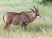 Roan Antelope in Long Grass