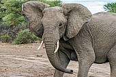 Elephant Shaking Head Agressively