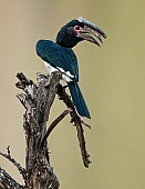 Trumpeter Hornbill on Old Tree Stump